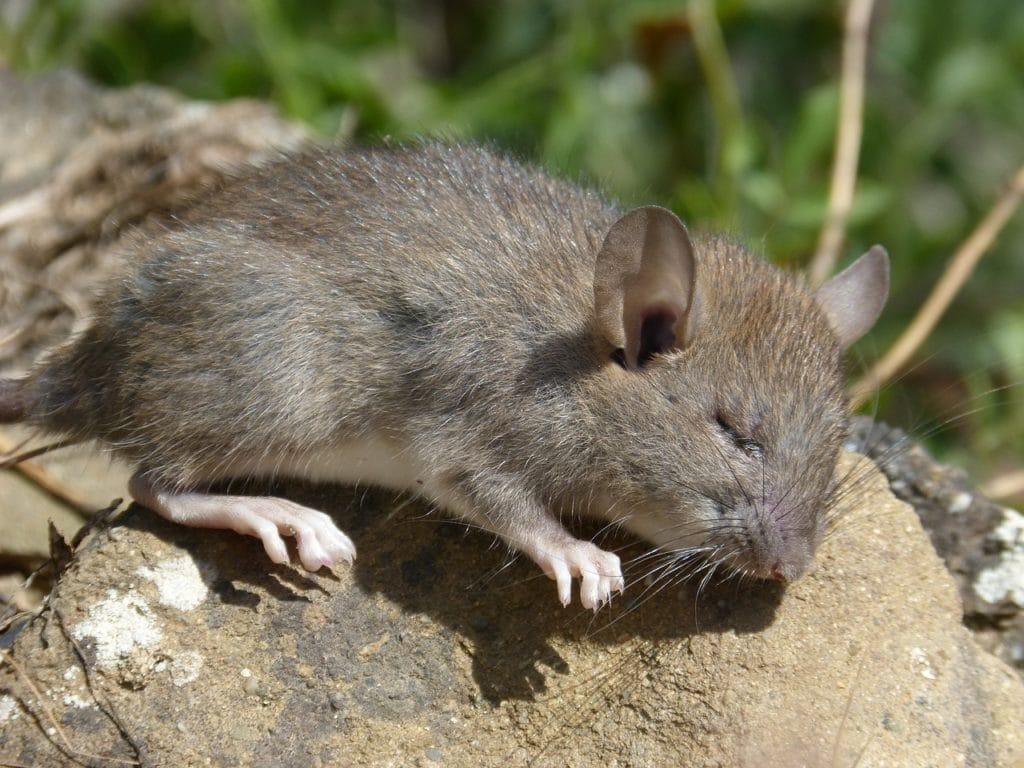 rat-4253518_1280